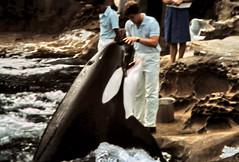 gm_10631 Vancouver Aquarium Orca Whale 1986 (CanadaGood) Tags: blue people white canada black color colour pool animal vancouver analog person aquarium bc britishcolumbia slidefilm whale stanleypark orca eighties 1986 killerwhale seattlefilmworks canadagood slidecube