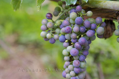 grape-vine_3164