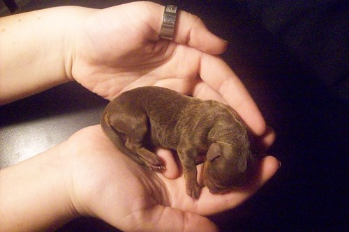 Newborn+chiweenie+puppies