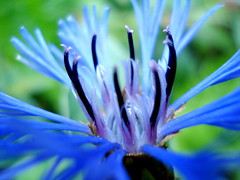 Focus on the bright spot, and your whole world will light up! (Clara Hinton) Tags: blue flower macro nature petals bright blossom awesomeblossom blueflower brightblue beautysecret bej bluepetals mywinners abigfave abigfav perfectangle blueblossom clarahinton ourmasterpieces mimamorflowers artofimages cffaa