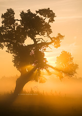 Blazing Oak (. Andrew Dunn .) Tags: light sun mist tree sunrise landscape dawn oak rays oaktree essex eastanglia hatfieldforest interestingness20 i500 challengeyouwinner