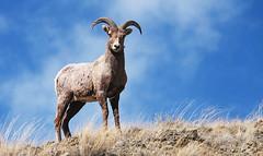 He Who Controls the Top of the Hill, Controls the Hill (wyojones) Tags: road grass sheep wildlife horns valley wyoming np cody ram mammals wapiti southfork mountainsheep shoshonenationalforest oviscanadensis concordians wyojones southforkshoshoneriver southforkoftheshoshoneriver