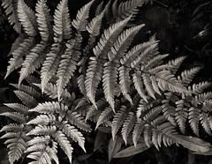 leaves (Chesky_W) Tags: bw garden tokyo  furukawateien chesky   eos40d  ef50f18ii