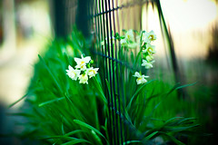 at the fence of winter and spring (moaan) Tags: life leica flower digital fence 50mm afternoon dof bokeh f10 calm daffodil m8 bloom noctilux roadside 2008 tranquil narcissus schoolyard efflorescence quietude explored inlife leicam8 bytheroadside leicanoctilux50mmf10 bokehwhores gettyimagesjapanq1 gettyimagesjapanq2