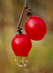 Red berries after a rain (Margret Maria Cordts) Tags: nov red macro closeup catchycolors berries 02 catchy