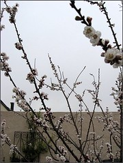 More Apricot blossoms and a bird