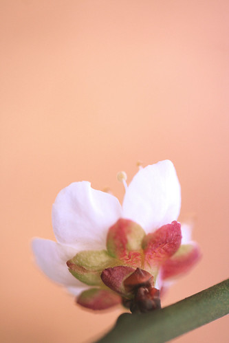 japanese plum: gaddi