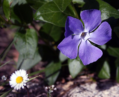 fleur mauv