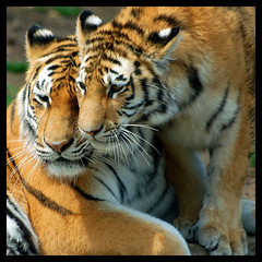 Tiger Mom And Cub