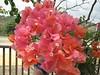 Trinitarias Rojas (Lacaos) Tags: flowers red flores sol colors del puerto rico porta rincon trinitarias veraneras floresbugambiliasveraneras exquisiteflowers mimamorflores
