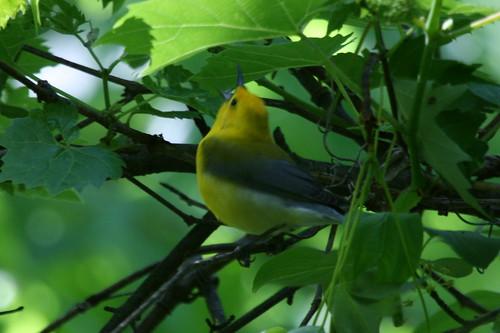 Prothonotary Warbler {Protonotaria citrea}