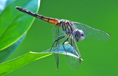 Curved Wings in the Garden (Jeff Clow) Tags: summer macro nature insect bravo dragonfly quality dfw sigma105mm impressedbeauty jeffrclow
