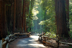 John Muir Woods - Walk in Paradise (Darvin Atkeson) Tags: ocean california park desktop trees wallpaper usa sunlight color beach monument nature pine america forest john magazine outdoors one us woods nikon highway san francisco heaven photographer pacific d70 screensaver outdoor walk dar scenic parks conservation size national muir preserve beams preservation watcher tallest naturephotography americanspirit featured darvin daughtersoftheamericanrevolution wallpapersize 5photosaday outdoorphotography atkeson californiaphotography outdoorphotographer  darv americanspiritmagazine californiaphotographer   liquidmoonlightcom liquidmoonlight darvinatkeson