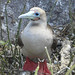 the funny looking red-footed boobie