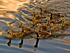 Gosling Gang (algo) Tags: light england water reflections photography topf50 bravo waves searchthebest quality topv1111 topv999 gang topv222 goslings topv777 algo topf100 bowwave challenged 100f firstquality tringreservoirs 50f 200850plusfaves favemoifrance obq qualitydeniedtitfortatrule