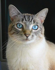 ALVIN (stefshep7) Tags: portrait pet cats beautiful cat feline blueeyes alvin lynxpoint bestofcats mollygirl theperfectphotographer boc0708
