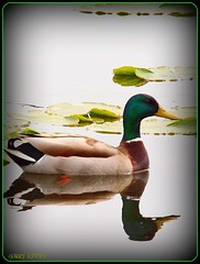 The Mirror (Garry's lens....) Tags: orange reflection green nature colors duck pond silvermedal beautifulmonsters