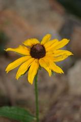 Day 168- Black Eyed Susan (stephmartin0378) Tags: flower yellow blackeyedsusan