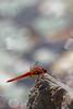 Happy Bokeh Wednesday (macropoulos) Tags: topf25 scarlet 500v20f dragonfly animalia arthropoda darter odonata libellulidae insecta anisoptera erythraea hexapoda canonef100mmf28macrousm crocothemis mywinners canoneos400d 30faves30comments300views ysplix macromarvels
