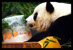 Tai Shan's 3rd Birthday party in DC, July 2008 (electra-cute) Tags: smithsonian dc panda species endangered taishan pandasunlimited blindphotographers graffitimagery