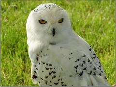Snowy Owl (Donna JW) Tags: birds superhero picnik owls birdsofprey snowyowl nycteascandiaca 15challengeswinner herowinner pregamesweepwinner pregameduelwinner