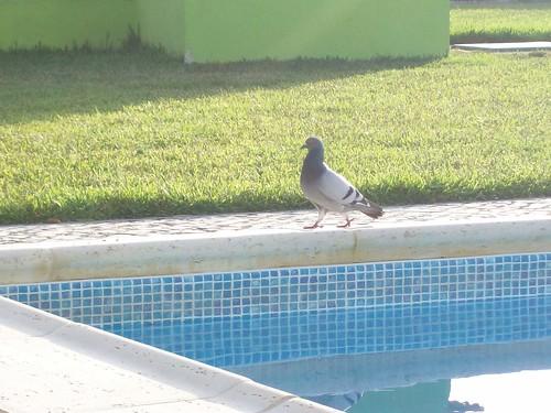O pombo e a piscina