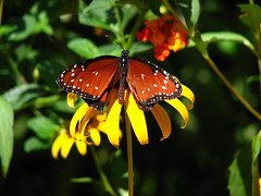 Butterfly (godpasta) Tags: butterfly blackeyedsusan