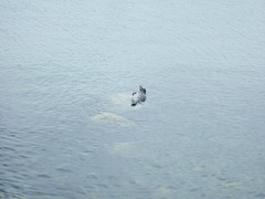 Lone Dalmatian Seal