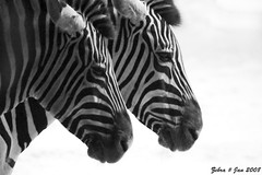 Zebra (Jan Linskens) Tags: blackandwhite animal zoo zwartwit zebra dieren dierentuin cubism blackwhitephotos aplusphoto blackwhiteaward bwartaward flickrestrellas itsazoooutthere janlinskens vanagram tiergartenduisburg fotoclubvenray