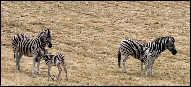 Zebras and Babies