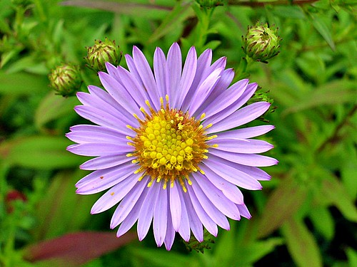 light purple aster  a photo on flickriver, Beautiful flower