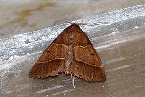Hong Kong Moth photo by MIDDLBURGH