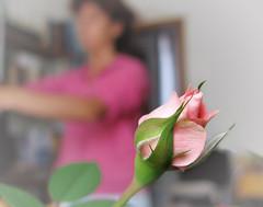 Minirosa (Gregorio Parvus) Tags: pink house flower home rose foglie canon casa leaf focus rosa indoor mini foglia fiore petali minirose minirosa rosamini