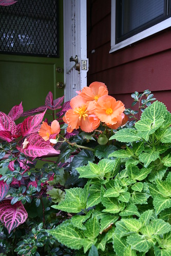 Bonfire begonia and coleus