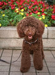 (tanakawho) Tags: red summer dog brown flower eye animal yellow mouth nose teeth leg fluffy flowerbed curly poodle ear daisy petunia leash creature natsu  tanakawho 1on1petsphotooftheweek 1on1petsphotooftheweekseptember2008
