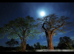 Baobabs at Night (pdxsafariguy) Tags: africa blue trees sky moon tree night stars tanzania star nikon surreal safari baobab tarangire littleprince petitprince boab d300 tomschwabel baobabs cotcmostinteresting anawesomeshot safariguideseye photoartbloggroup imagicland pdxsafariguy