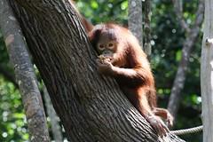 Breakfast banana (HolidayMonkey Photography) Tags: monkey borneo orangutan