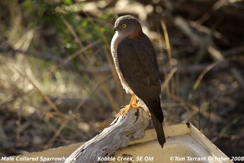 Male Collared Sparrowhawk (Accipiter cirrocephalus) by aviceda.