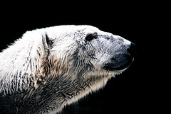 polar bear profile (dicksoto) Tags: nyc polarbear bronxzoo aplusphoto