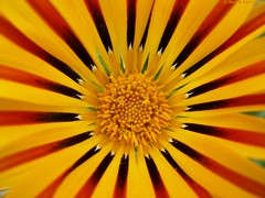 THE SUN (Rick & Bart) Tags: friends flower nature flora colours bloom gazania bloem botg rickbart thebestofday gnneniyisi flowersarefabulous qualitypixels alittlebeauty rickvink