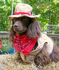 New Sheriff in town (Doxieone) Tags: dog brown fall halloween long chocolate 2008 haired dacshund longhaired halloweenfall2008set ddate