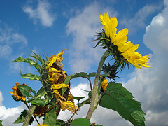 sunflowers sky (Urbanimp) Tags: sky garden sunflowers allotment