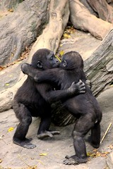Gorilla Baby Hug Party (Evan Animals) Tags: baby silly love animal hug funny play gorilla bronxzoo primates greatape cutebabies babyape blueribbonwinner slothinabox abigfave babygorillas zoosofnorthamerica babyapes twobabygorillas