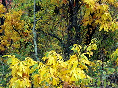 leaves (aluminum ghost) Tags: nature virginia hiking autumnleaves waterfalls shenandoah nationalparks naturephotography shenandoahnationalpark rockpiles lukeweichmann