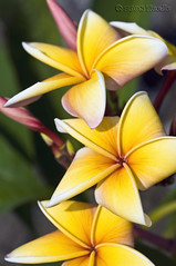 ...flower (T   J ) Tags: fab flower 60mm westjava nikkor soe serpong d300 golddragon abigfave teeje platinumphoto impressedbeauty