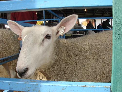 Rhinebeck sheep and wool