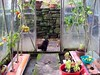 Chicken, Lettuce & Tomato (DrSlippers2007) Tags: life uk red england urban food plants green chicken home nature self garden tomato back backyard natural gardening good tomatoes flock grow feather jardin free rosa vegetable cock lancashire blackburn your greenhouse breeding poultry eggs rooster recreation growing veggies poule veggie veg hen range oiseau own oiseaux coq henhouse poulet bantam feathered solanum raising lollo robinet pekin redblack moneymaker bantams volaille sufficiency poulailler poulets arrièrecour lycopersicum myfolia coqnain coqsnains