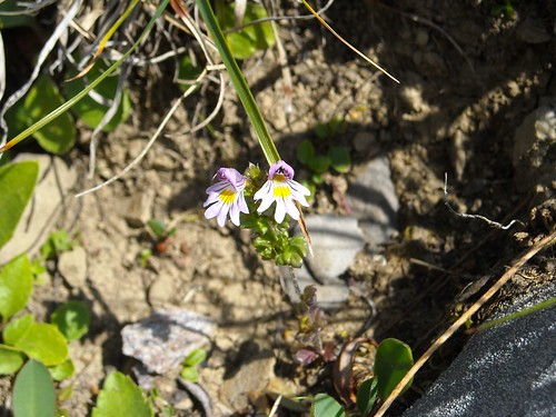 Eyebright (Euphrasia sp.)