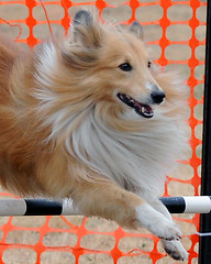 7237 (Fast Eddie 65) Tags: dog pet pets dogs nature animal jumping action tail australia agility catton fasteddie65 hairygitselite
