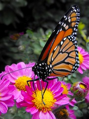 The Last Monarch (scilit) Tags: park pink orange flower macro nature lines yellow butterfly bug garden insect petals flora bokeh monarch monarchbutterfly naturesfinest cherryontop supershot topshots bej mywinners abigfave anawesomeshot colorphotoaward impressedbeauty spectacularinsects citrit theunforgettablepictures theunforgettablepicture colourartaward excapture anawesomebug everydayissunday theperfectphotographer goldstaraward excapturemacro butterflieselegance natureselegantshots ahqmacro rubyphotographer beautifulmonsters elshowdelmacro